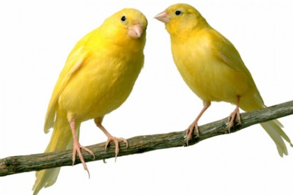 canaries2